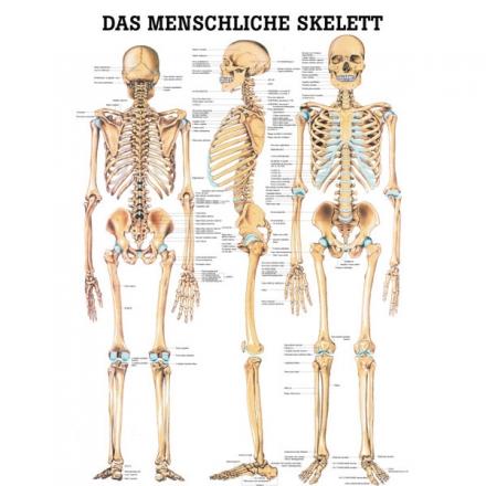 LEHRTAFEL 70 x 100 CM Das menschliche Skelett