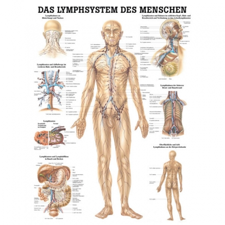 LEHRTAFEL 70 x 100 CM Das Lymphsystem