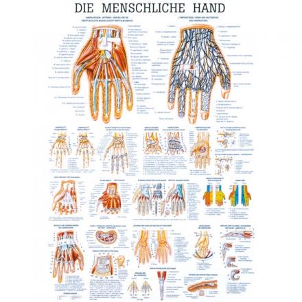 LEHRTAFEL 70 x 100 CM Die menschliche Hand