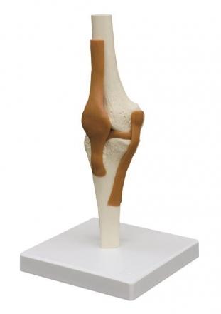 Kniegelenk mit Bändern A252