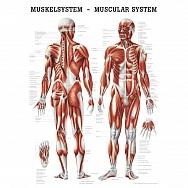 LEHRTAFEL 50 x 70 CM Das Muskelsystem