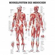 LEHRTAFEL 70 x 100 CM Das Muskelsystem