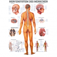 LEHRTAFEL 70 x 100 CM Das Nervensystem