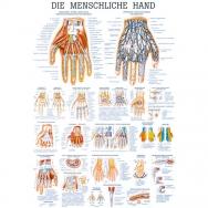 Die menschliche Hand