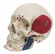 Schädelmodell, 3-tlg mit Muskelmarkierung und Nummerierung