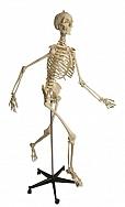 Skelett physiologisch A203
